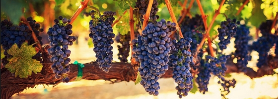 Cabernet Sauvignon Wine Grapes on Vine