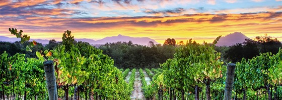 Vineyard at Sunrise California Wine Country